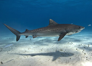 This is a smaller Tiger Shark making it's way across the ... by Steven Anderson 